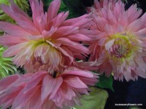 soft pink shaggy dahlia