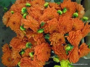 double pom-pom orange dahlia