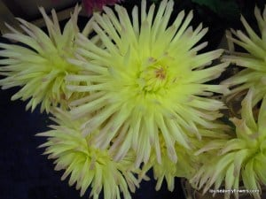 lemon yellow cactus-style dahlia