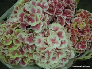 pink & white bi-coloured hydrangea