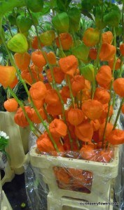 Tall orange physalis, common name: chinese lantern