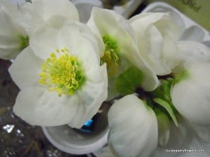 white helebore cut flowers. Common name: Christmas rose