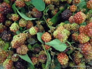Cultivated blackberries