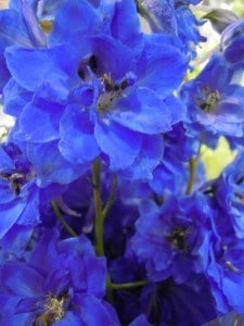 Blue flowers. Delephinium