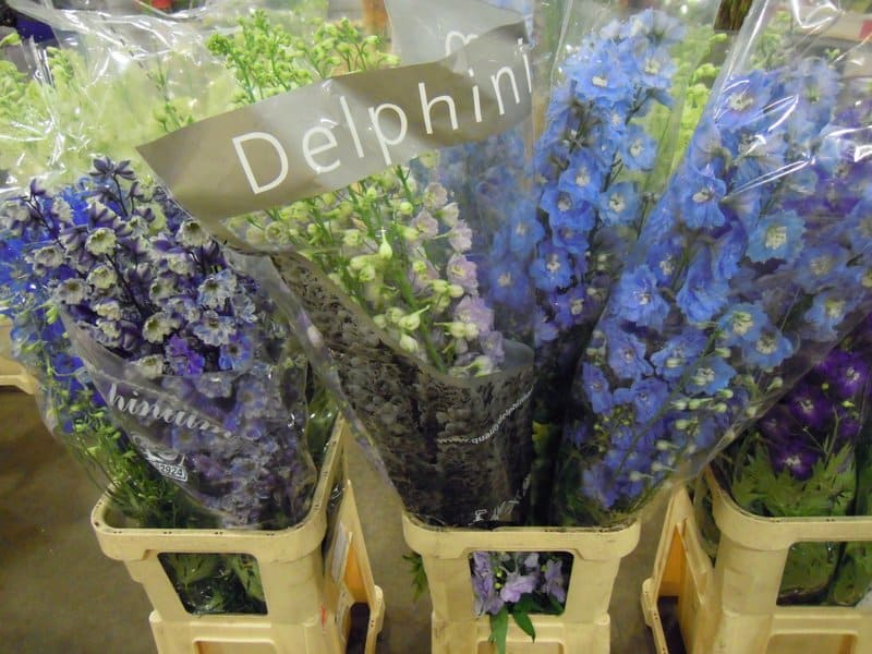 mixed shades of tall blue delphinium stems