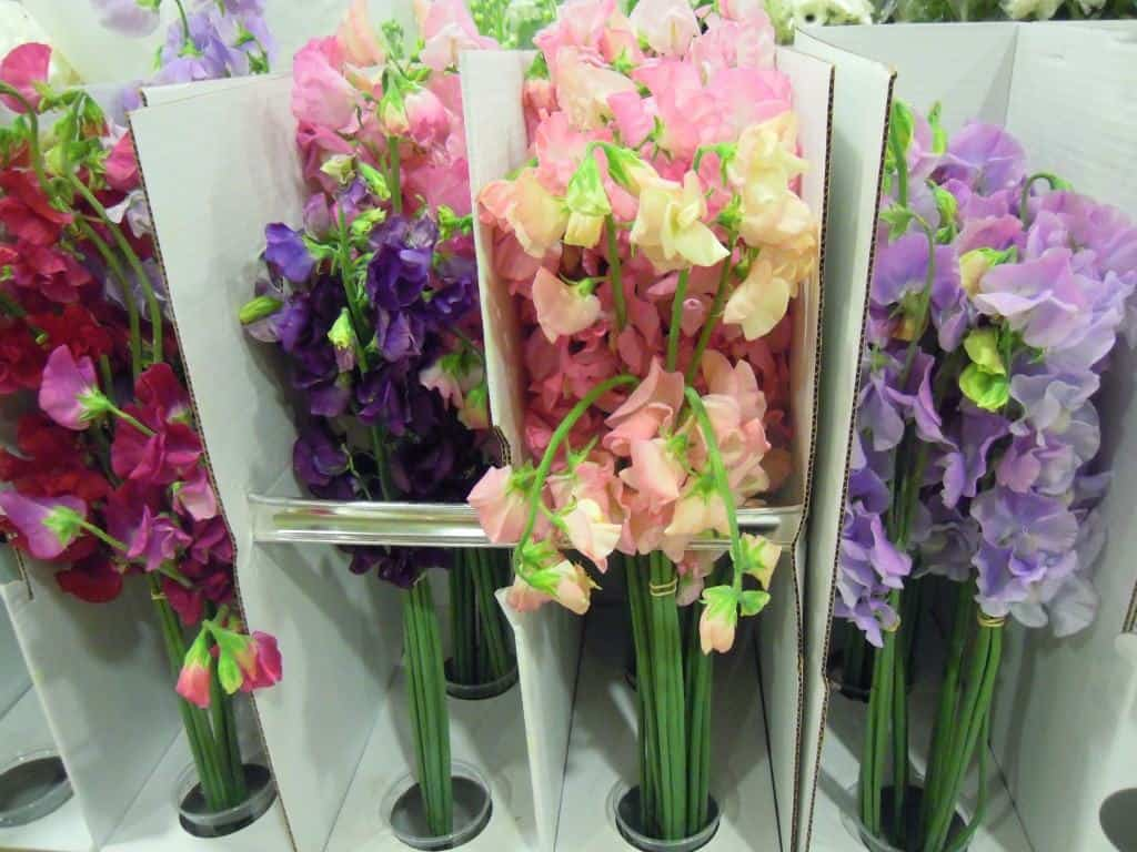 Sweet Peas, The Perfect Wedding Bouquet Flower