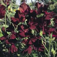 Dark Red Sweet Peas
