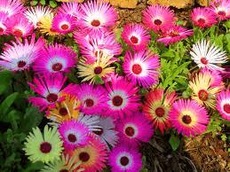 mesembryanthemums.