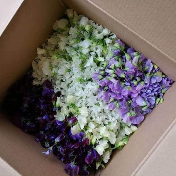 British flowers Box of Sweet Peas