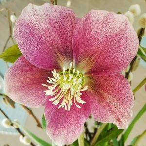 British flowers, pink hellebore