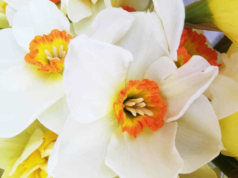 Hampshire Mother's Day Flowers British Narcissi