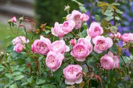 pink garden rose plant