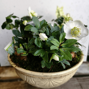 Hampshire floral web-shop Planted bowl of white hellebores