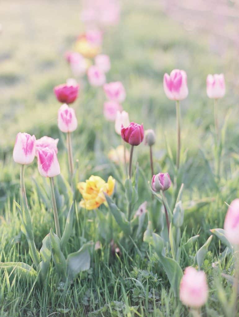 Tulips growing,