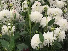 Growing white dahlias