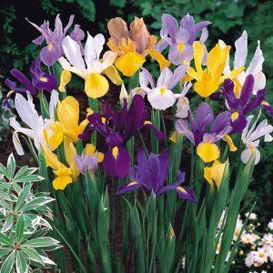 mixed coloured iris flowers