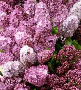 syringa or lilac flowers